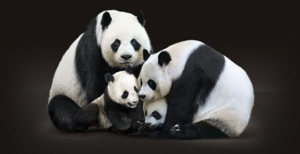 Visit the giant Pandas at Calgary zoo